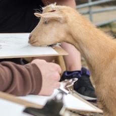Wild Life Drawing: Rare Goats